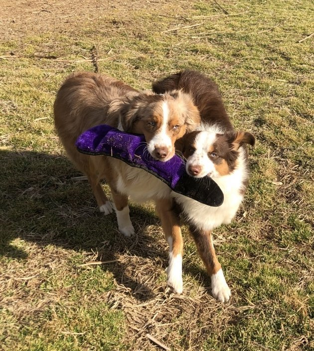 two dogs chewing