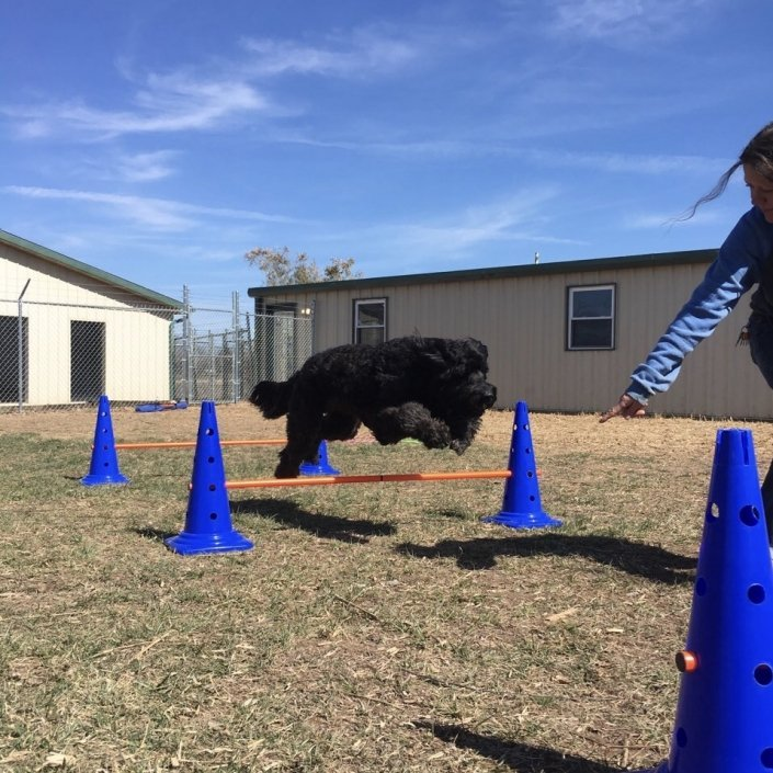 black dog running agility course