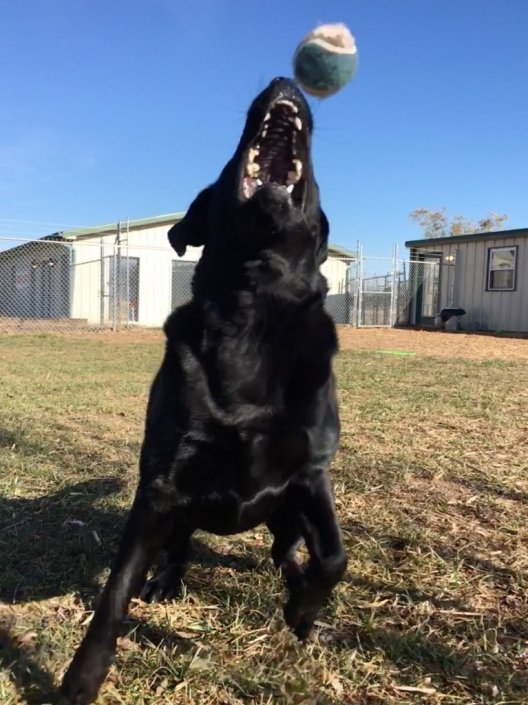 black dog throwing ball at percys boarding