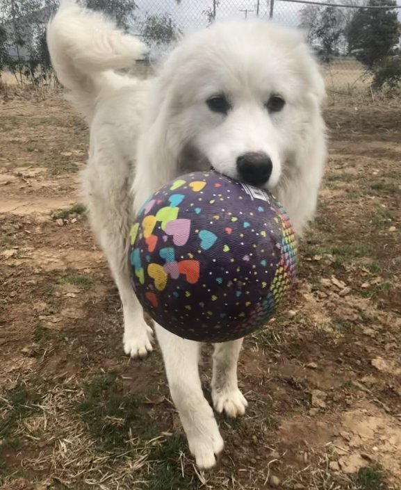 great pyrenees with ball at Percy's boarding