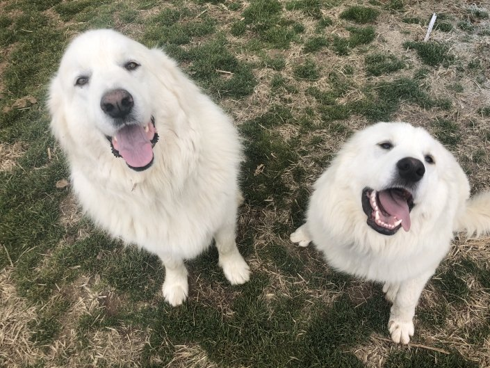 two great pyrenees at percy's boarding